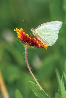 beholding-White-Sulfer-Butterfly-Merritt-Is-FL
