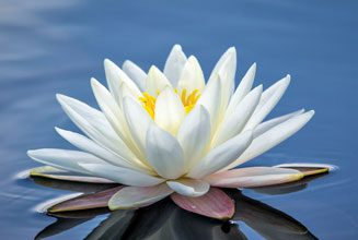 beholding-White-Water-Lilly-Santee-Lakes