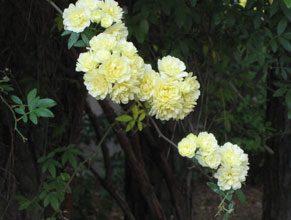 garden-Lady-Banksia2