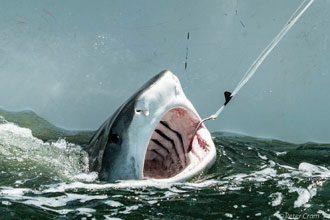 Tagging-Tiger-Shark-2