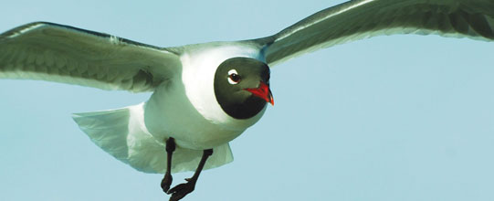 fall-Gull-on-the-Wing