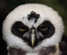 just-birds-Spectacled-Owl