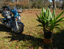 garden-nuns-orchid-and-harley