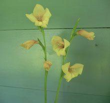 garden Gladiolus dalenii Primulinus