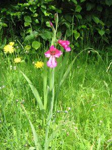 garden Gladiolus byzantinus03