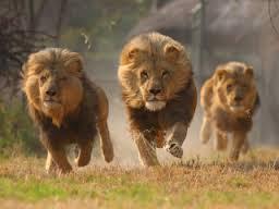 Border Lions