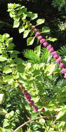 garden Beautyberry