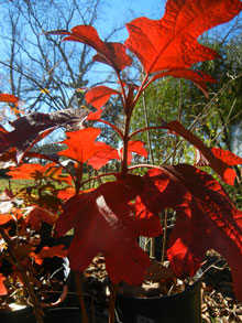 garden autumn oakleaf hydrangea