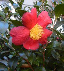 garden camellia