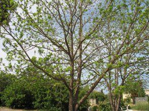 garden Pecan Tree In Spring