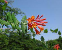 garden Lonicera sempervirens 5