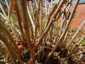 gardnen dead hydrangea stems