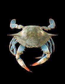 jayne blue crab on black