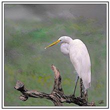 digital egret preening