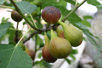 It's Fig Season!