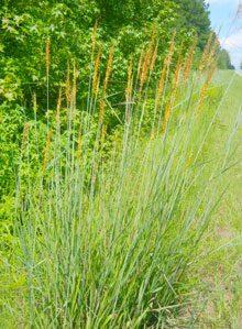 garden Indian grass