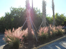 garden Muhly Grass In Bloom