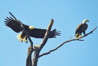 St Phillips Bald Eagles
