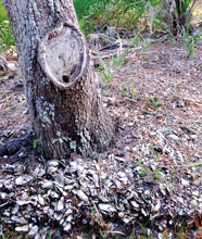 St Phillips Oyster Hummocks Mark Ancient Feast by Native Americans