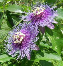 garden Passiflora Incense