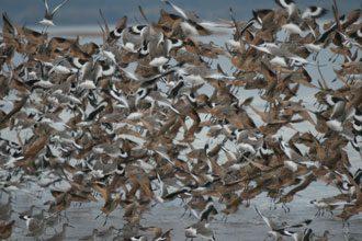 coastal shore birds Red Knots
