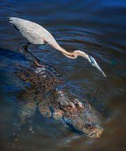 eye Alligator Ride 2