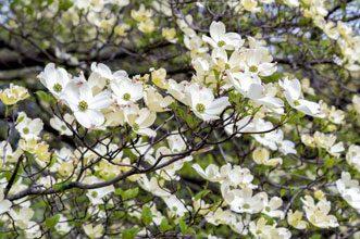 garden dogwood
