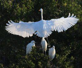 BirdBirthday Great Egret Chicks JohnAlbert