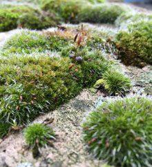 garden Mosses