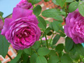 garden papas blue rose