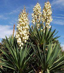 Yuccas: A Tough, Pointy, Pretty Versatile Native